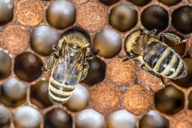 abejas melifera granja abuela luisa